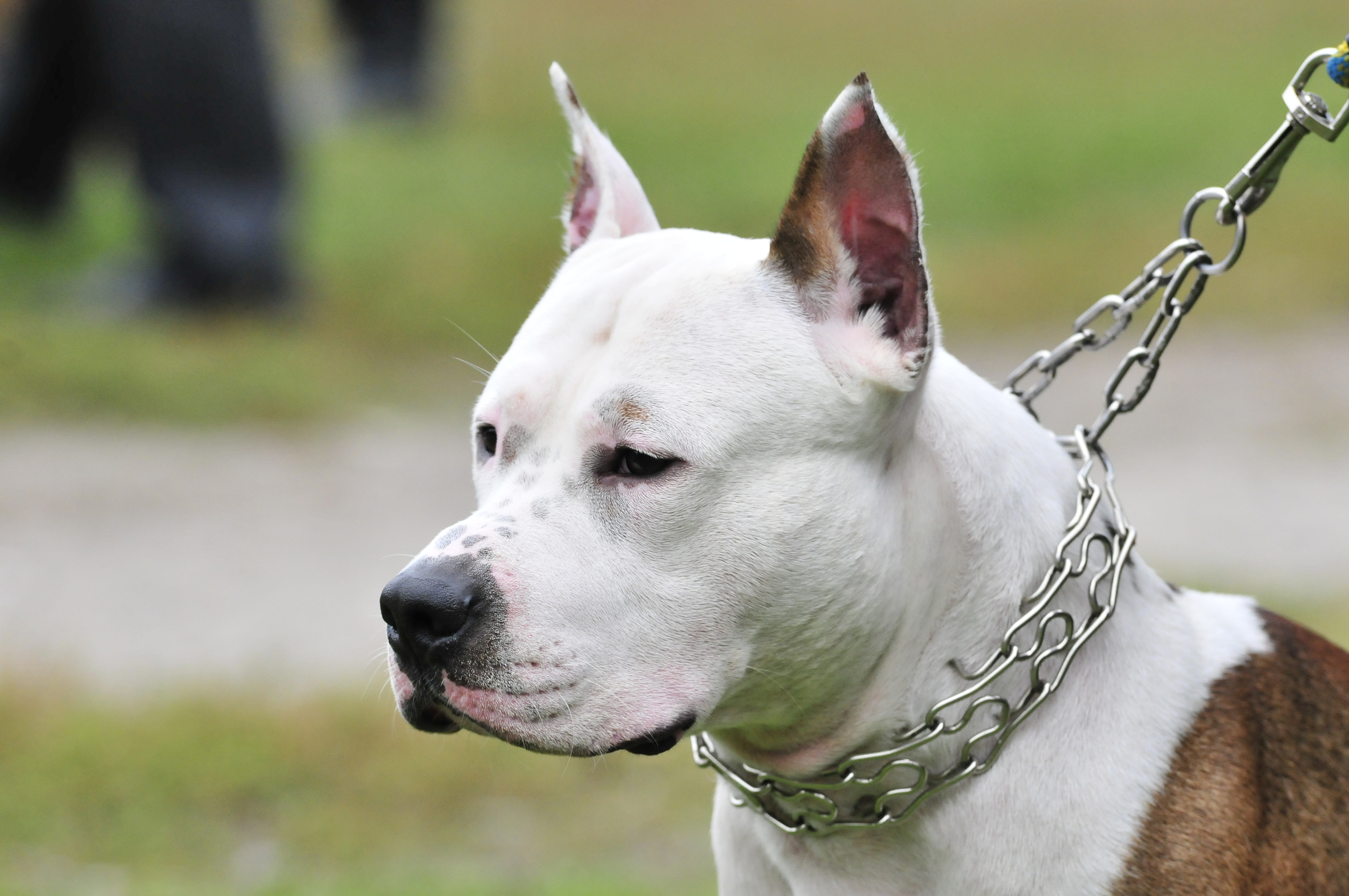 American Staffordshire Terrier  American Pit Bull Terrier